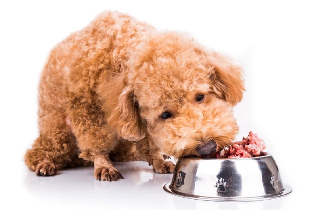 Chó poodle ăn gì đẹp lông
