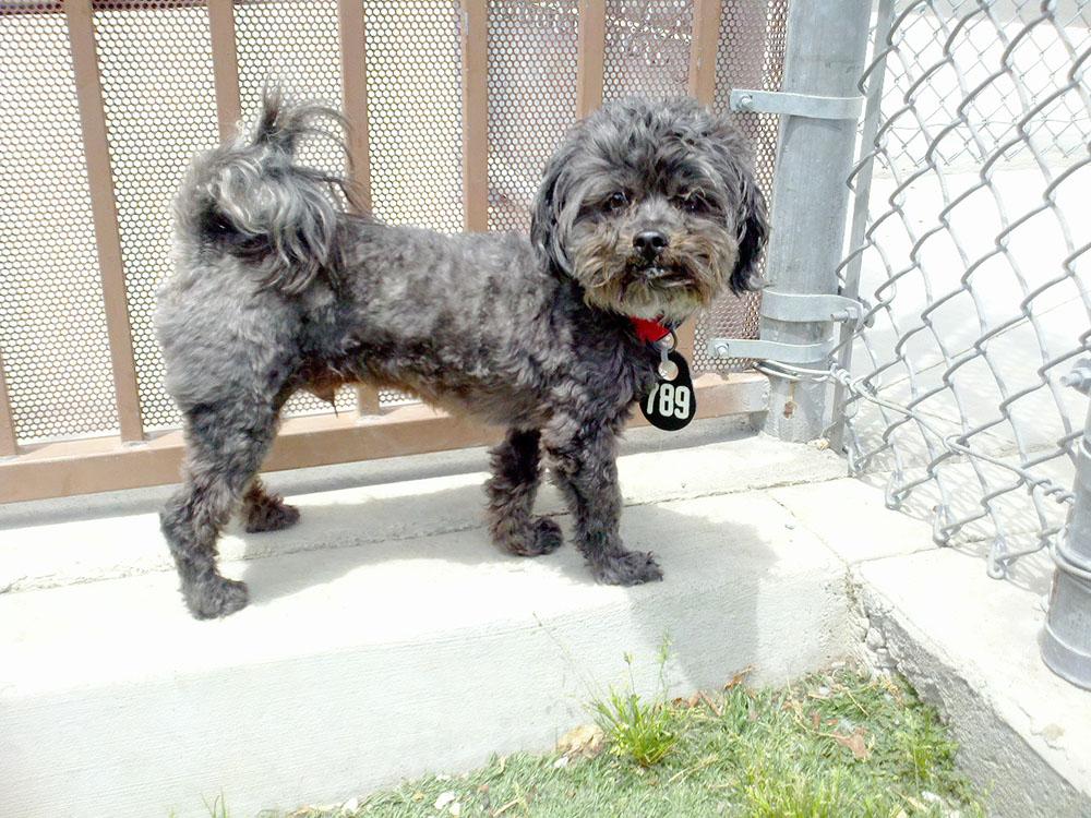 Chó Poodle lai Shih Tzu