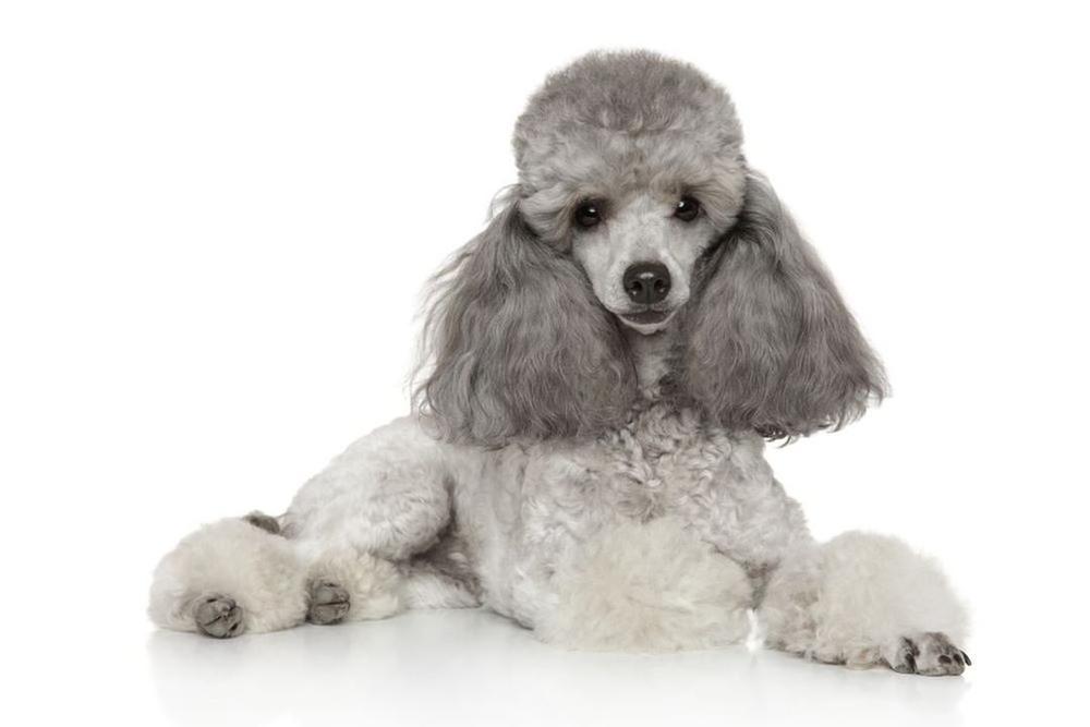 Chó Poodle màu xám