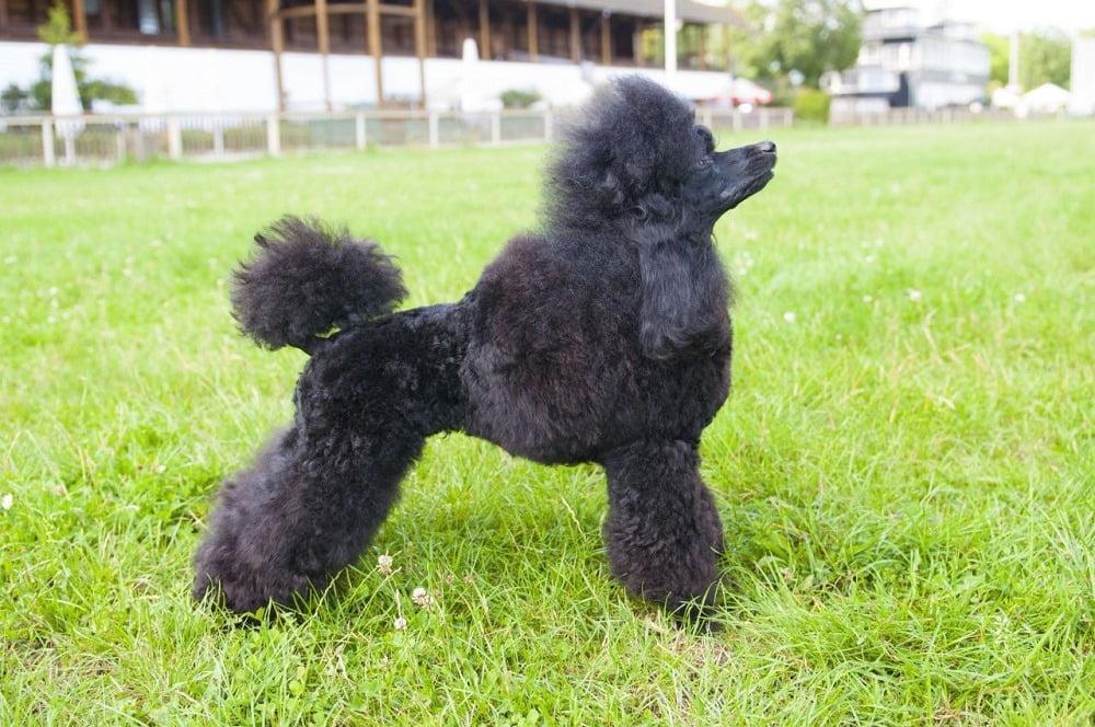Cắt tỉa lông chó Poodle