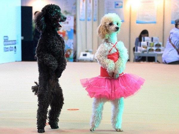 Cách huấn luyện chó Poodle vệ sinh