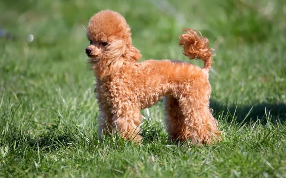 Chó Poodle giá bao nhiêu